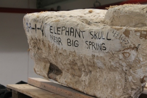 An elephant skull sits in a plaster jacket waiting to be opened and analyzed.