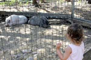 A young girl clings to the fence as she gets a better look of the javelinas at the Austin Zoo and Animal Sanctuary. Photo by Ceci Gonzales.
