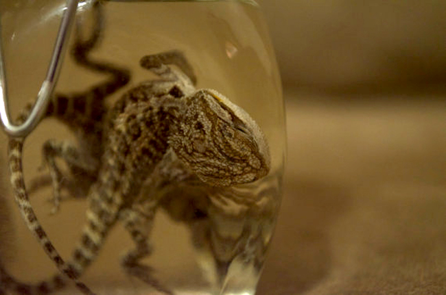 "These two baby bearded dragon lizards were preserved and bottled with care by mortuary science student, Emma Campbell. She says that her claim to fame in the oddities community is for ""having the largest variety of exotics for sale."""